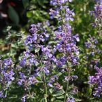 Nepeta x faassenii 'Junior Walker'