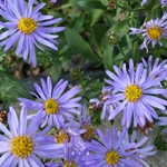Aster macrophylla 'Twilight'
