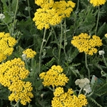 Achillea 'Coronation Gold''