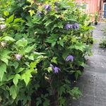 Clematis 'Georg' E