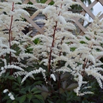 Astilbe arendsii 'Cappuccino'